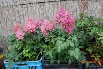 Rózsaszín tollbuga - Astilbe arendsii