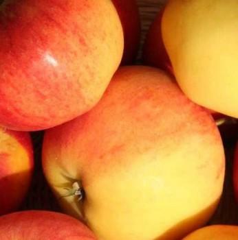Rubinola alma gyümölcsfa