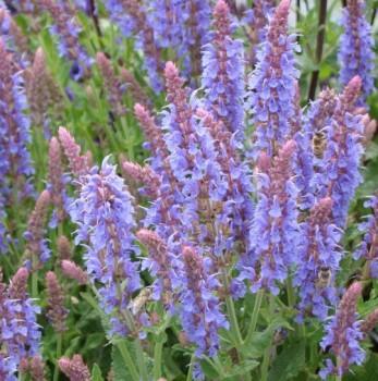 Ligeti zsálya - Salvia nemorosa Blauhügel