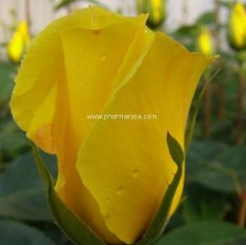 Sárga virágú futó rózsa - Golden Showers