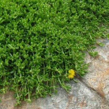 Sárga kristályvirág Delosperma nubigenum