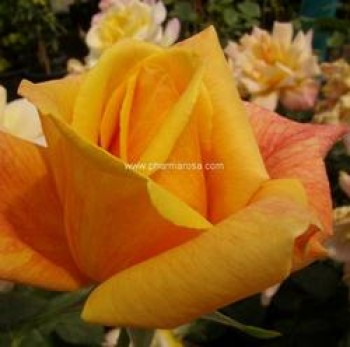 Sárga virágú futórózsa - Sutters Gold