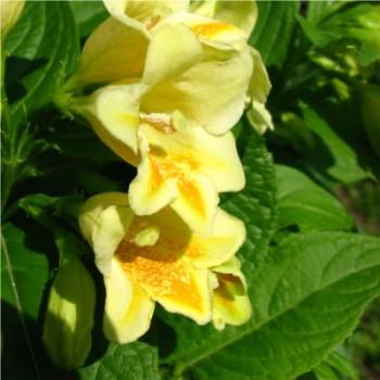 Sárga virágú rózsalonc - Weigela Middendorffiana