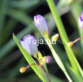 Díszfüvek Sásbokor virág