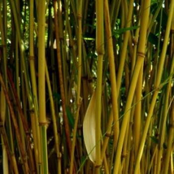 Csíkos szárú bambusz - Semiarundinaria yashadake Kimmei