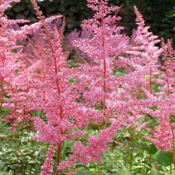 Rózsaszín virágú tollbuga - Astilbe Cattleya