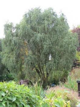 Spirálfűz, Csavart mandzsu fűzfa 100-150 cm