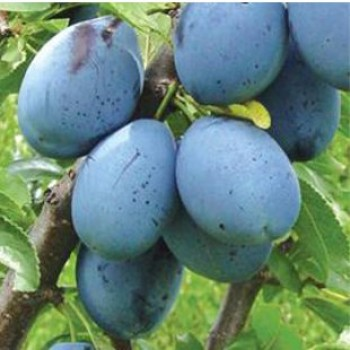 Stanley szilva - Szilvafa oltványok - Gyümölcsfa