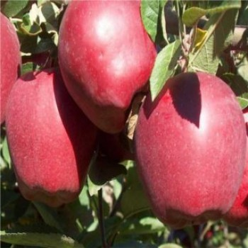 Starkrimson alma - Almafa oltványok