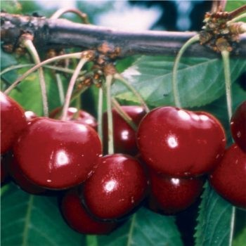 Stella öntermékeny cseresznye gyümölcs