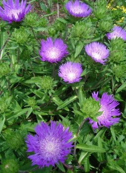 Stokes búzavirág virágok - Stokesia