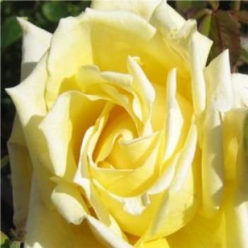 Sunblest sárga virágú bokor rózsa