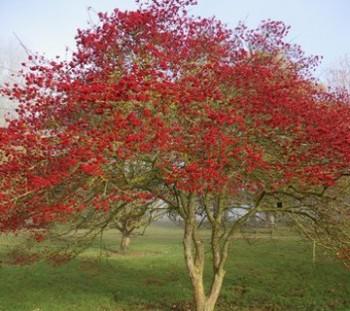 Szilvalevelű galagonya - Crataegus prunifolia