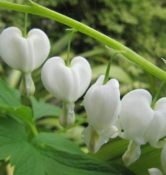 Szívvirág fehér Dicentra spectabilis Alba