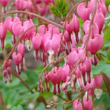 Rózsaszín szívvirág - Dicentra spectabilis