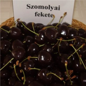Szomolyai fekete cseresznye - Cseresznyefa oltvány - Gyümölcsfa