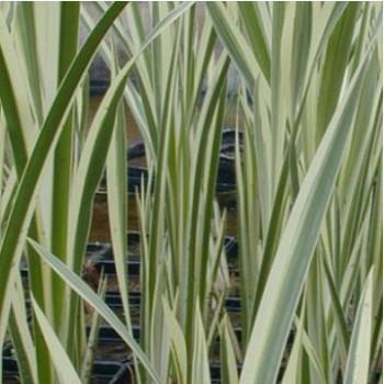 Tarka levelű kálmos - Acorus calamus Variegata