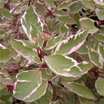 Tarka levelű som - Cornus alba Elegantissima