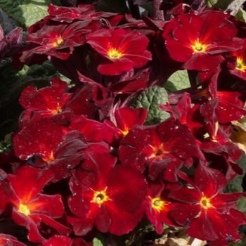 Tavaszi kankalin bordó piros - Primula veris Goldnugget Red