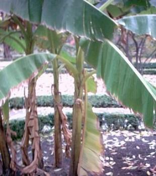Fagytűrő banán, Télálló banán - Musa basjoo