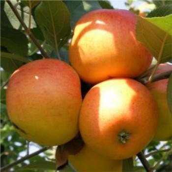 Téli arany parmen alma - Almafa oltványok