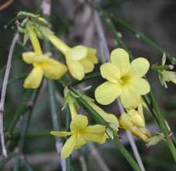 Téli jázmin virág - Jasminum nudiflorum