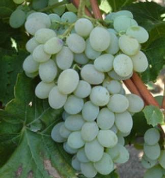 Teréz rezisztens csemegeszőlő oltvány