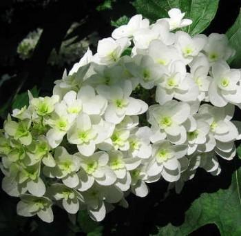 Tölgylevelű hortenzia – Hydrangea quercifolia Forrás: John Flickr