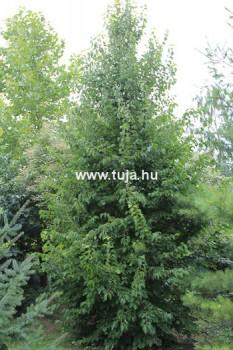 Fák, Díszfák Törökmogyoró fa - Corylus colurna