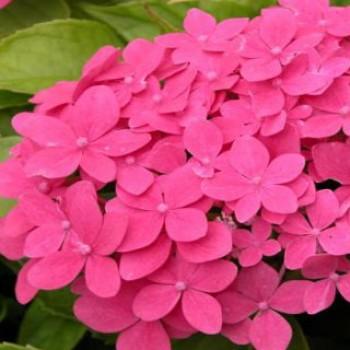 Törpe hortenzia - Hydrangea mini Hornli