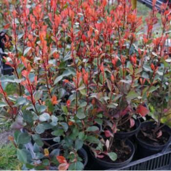 Törpe korallberkenye - Photinia Little Red Robin Örökzöld törpe cserje