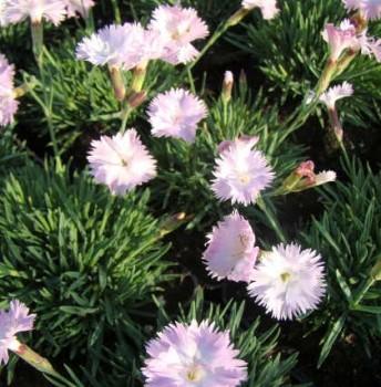 Törpe szegfű Dianthus Whatfield Wisp