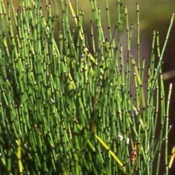 Tavi növények Törpe zsurló - Equisetum sripoides