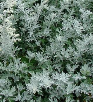 Üröm - Artemisia stelleriana talajtakaró évelő virág