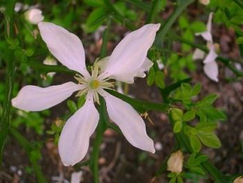 Vadcitrom fehér, illatos virága - Poncirus trifoliata