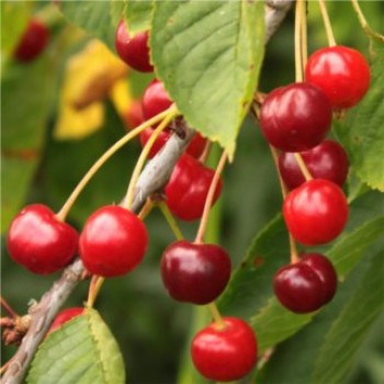 Vadcseresznye - Prunus avium