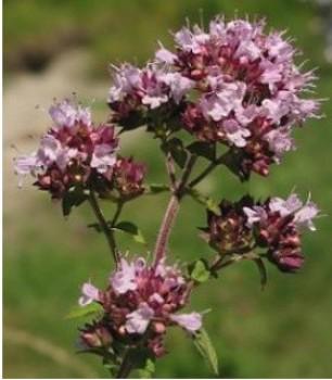 Fűszernövények Vadmajoránna törpe szurokfű virága - Oregano vulgare Compactum