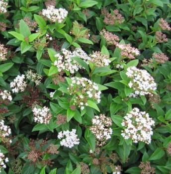 Örökzöld bangita - Viburnum tinus Eve Price