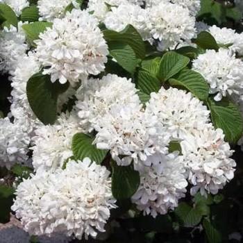 Redős levelű bangita Viburnum pilcatum Popcorn