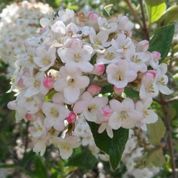 Tavaszi bangita - Viburnum x burkwoodii