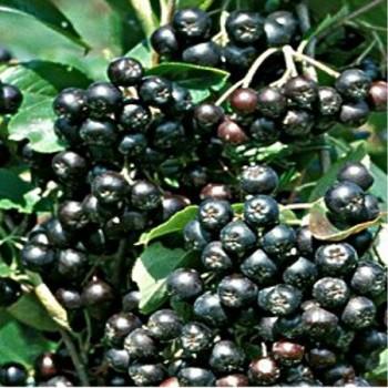 Fekete berkenye gyümölcs - Aronia melanocarpa
