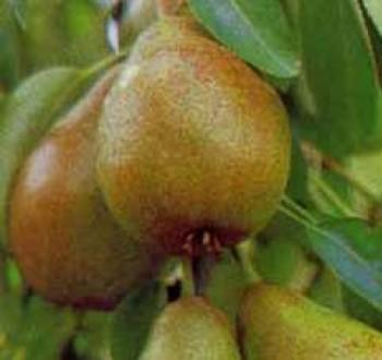 Vilmos körte - Körtefa oltványok - Gyümölcsfa