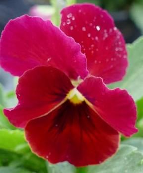 Szarvacskás árvácska bordó Viola cornuta Scarle