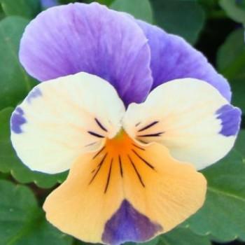 Szarvacskás árvácska narancsos liláskék - Viola cornuta Apricot Azure Wing