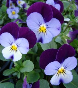 Szarvacskás árvácska sötétkék világoslila Viola cornuta Blue Purple Wing