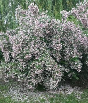 Viráglonc - Kolkwitzia