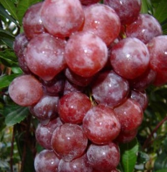 Cardinal csemegeszőlő, Vitis vinifera Cardinal