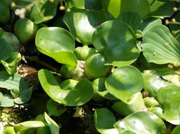 Tavi növények Vízi jácint vízen úszó növény - Eichornia crassipes