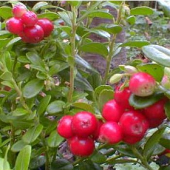 Örökzöld növények Vörös áfonya gyümölcse - Vaccinium Red Pearl