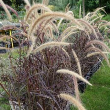 Díszfüvek Vörös levelű Tollborzfű - Pennisetum setaceum Rubrum